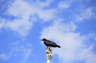 live_bird